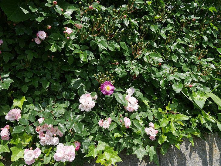 ブルーランブラー(ツルバラ)の花が1個咲いた。2018年-2.jpg