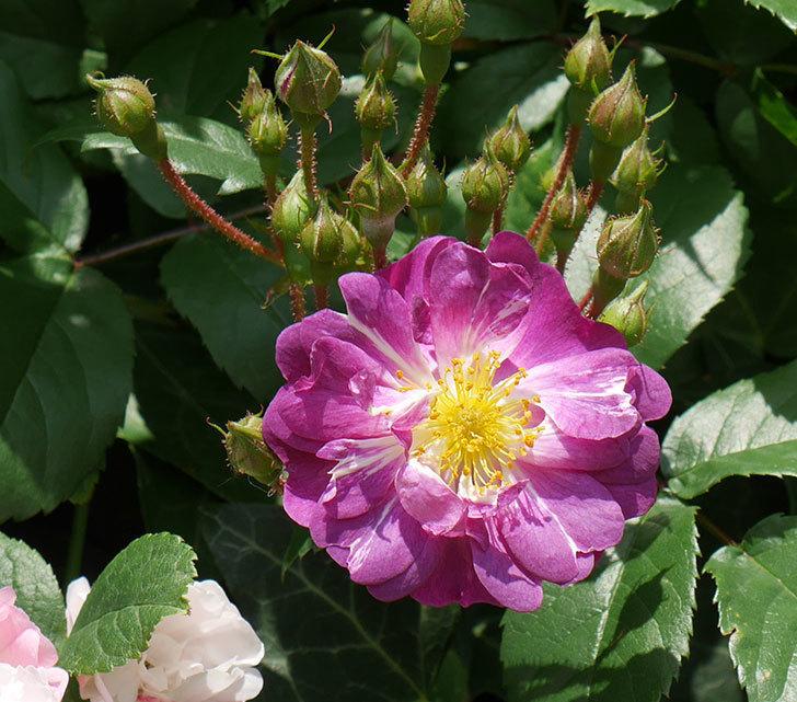 ブルーランブラー(ツルバラ)の花が1個咲いた。2018年-3.jpg