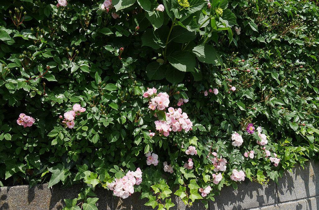 ブルーランブラー(ツルバラ)の花が1個咲いた。2018年-4.jpg
