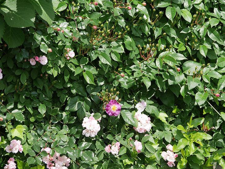 ブルーランブラー(ツルバラ)の花が1個咲いた。2018年-5.jpg