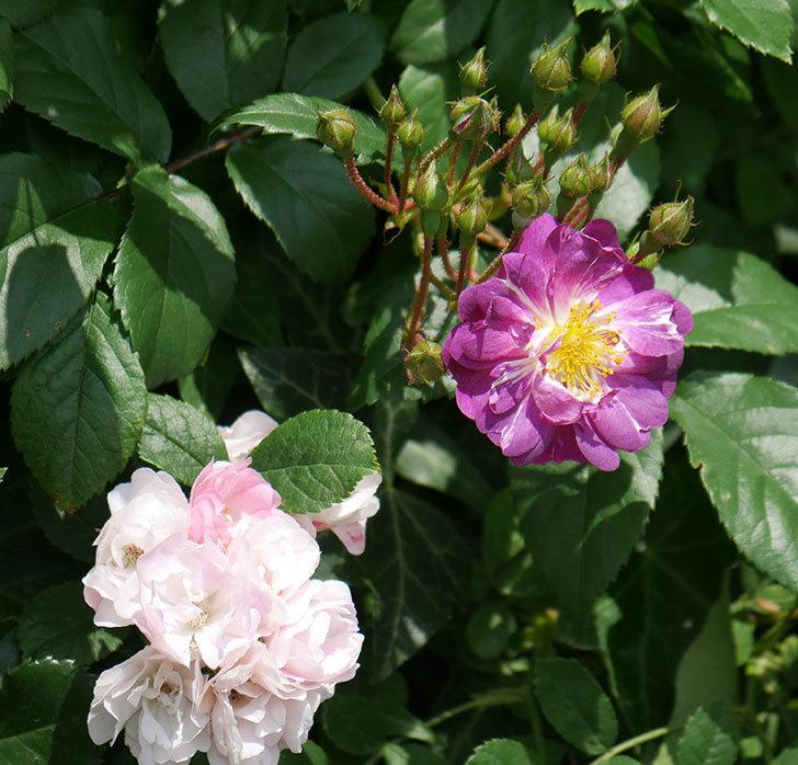 ブルーランブラー(ツルバラ)の花が1個咲いた。2018年-6.jpg