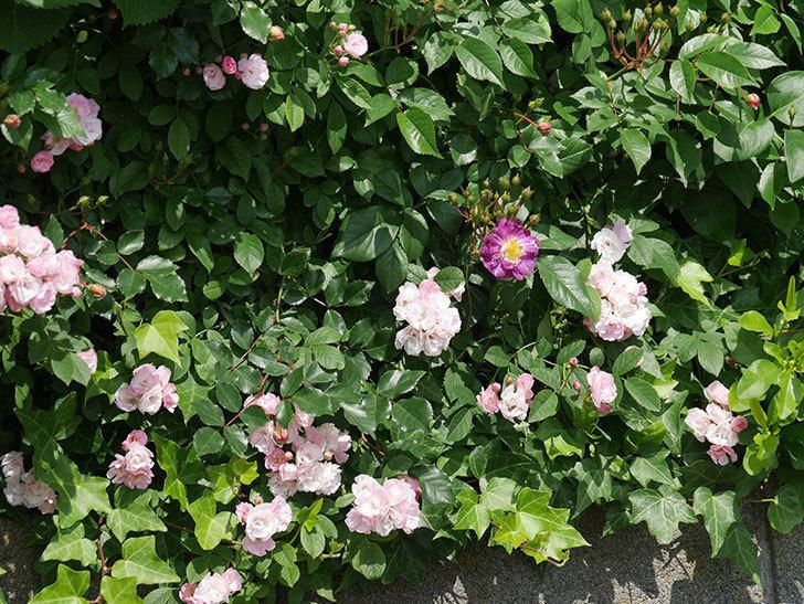 ブルーランブラー(ツルバラ)の花が1個咲いた。2018年-7.jpg