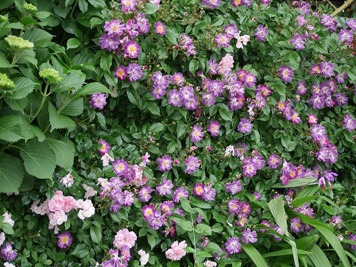 ブルーランブラー(ツルバラ)の花がたくさん咲いた。2018年-10.jpg