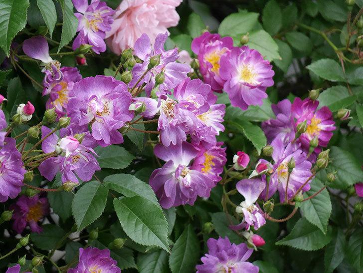 ブルーランブラー(ツルバラ)の花がたくさん咲いた。2018年-11.jpg