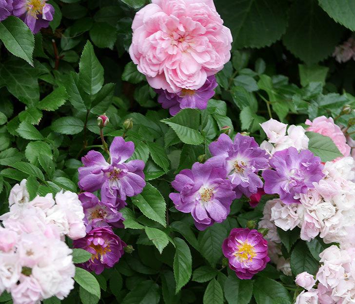 ブルーランブラー(ツルバラ)の花がたくさん咲いた。2018年-2.jpg