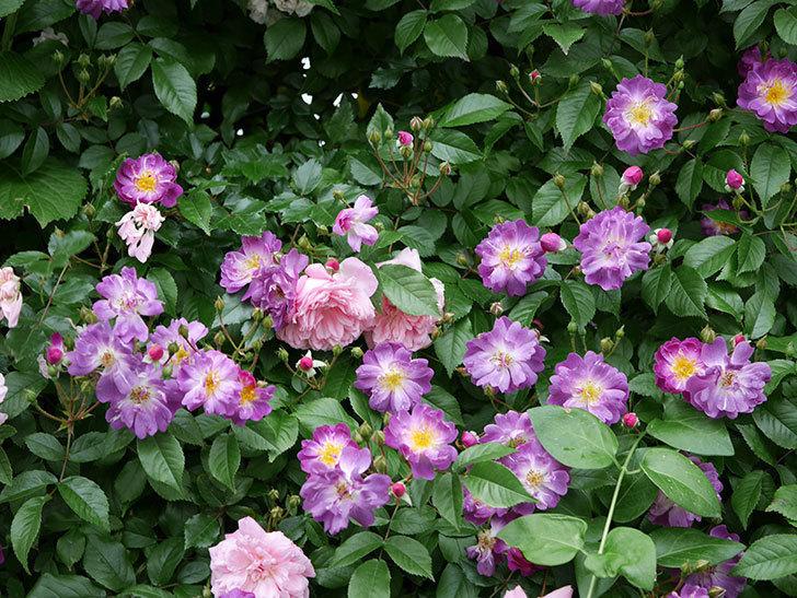 ブルーランブラー(ツルバラ)の花がたくさん咲いた。2018年-3.jpg