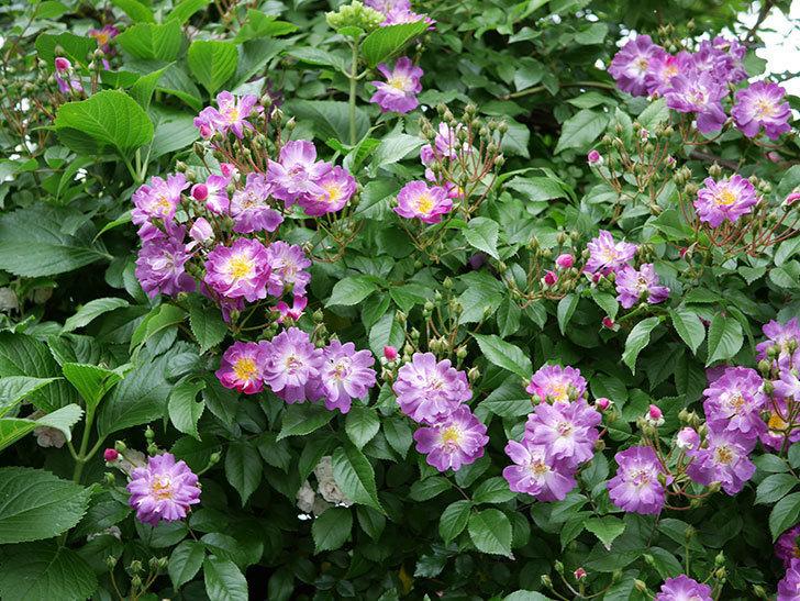 ブルーランブラー(ツルバラ)の花がたくさん咲いた。2018年-4.jpg