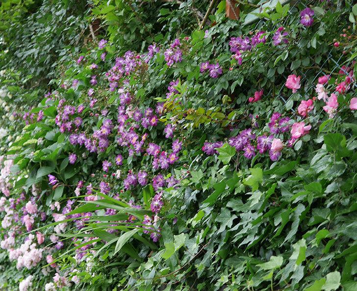 ブルーランブラー(ツルバラ)の花がたくさん咲いた。2018年-7.jpg