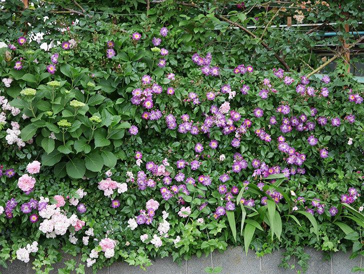 ブルーランブラー(ツルバラ)の花がたくさん咲いた。2018年-8.jpg