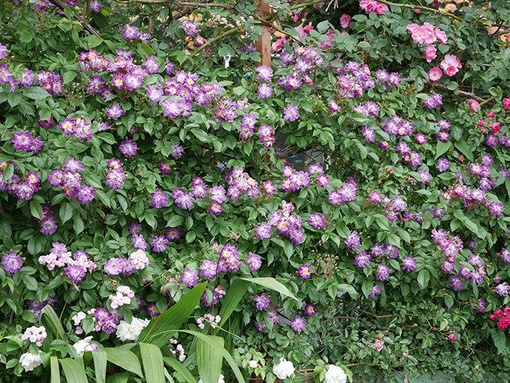 ブルーランブラー(ツルバラ)の花がたくさん咲いた。2019年-1.jpg