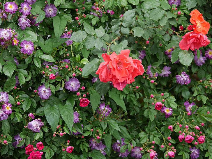 ブルーランブラー(ツルバラ)の花がたくさん咲いた。2019年-10.jpg