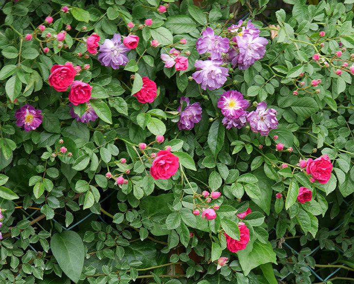 ブルーランブラー(ツルバラ)の花がたくさん咲いた。2019年-11.jpg