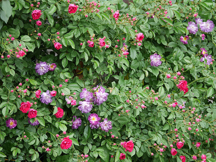 ブルーランブラー(ツルバラ)の花がたくさん咲いた。2019年-12.jpg