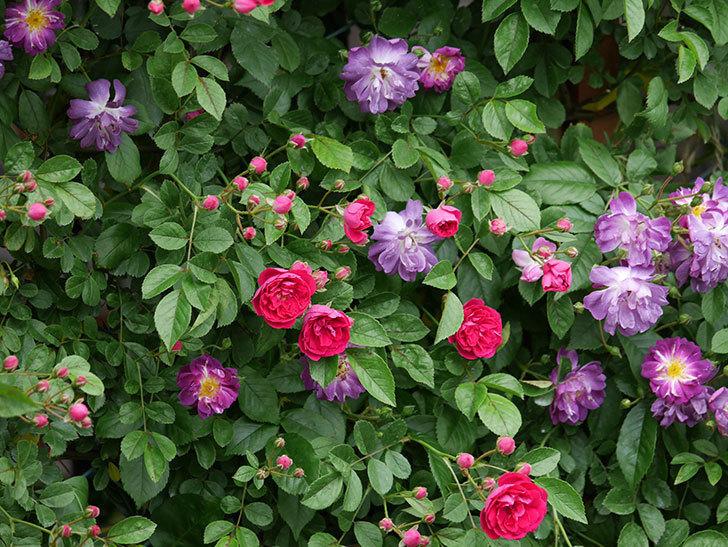 ブルーランブラー(ツルバラ)の花がたくさん咲いた。2019年-13.jpg