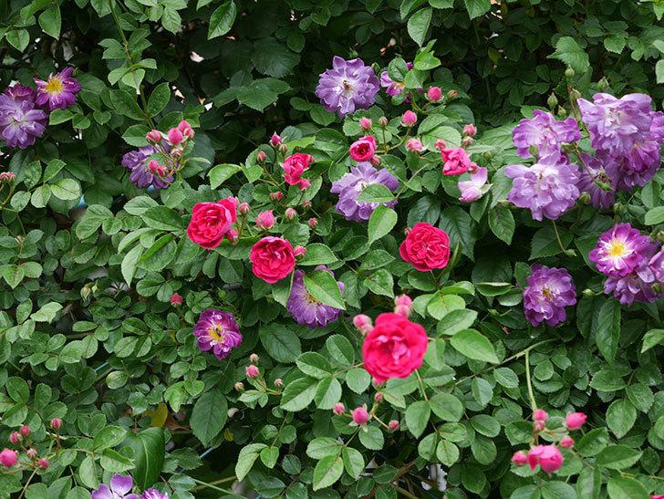 ブルーランブラー(ツルバラ)の花がたくさん咲いた。2019年-3.jpg