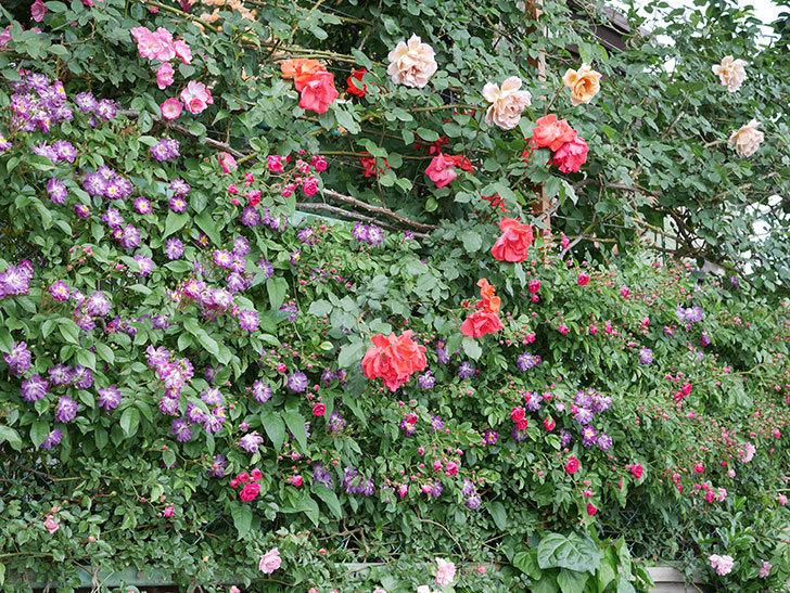 ブルーランブラー(ツルバラ)の花がたくさん咲いた。2019年-5.jpg