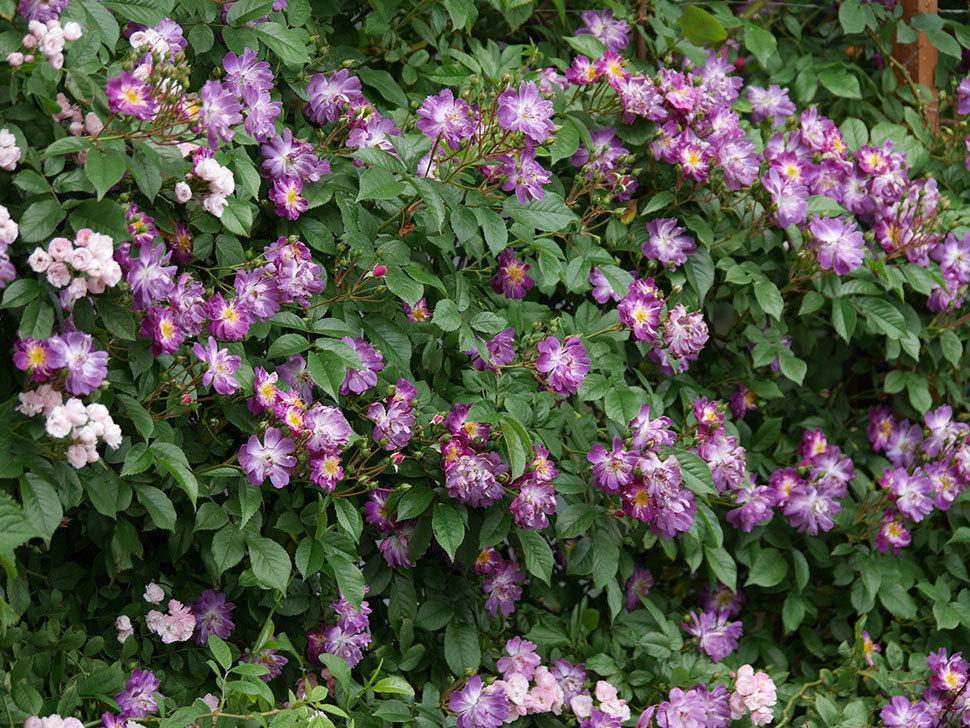 ブルーランブラー(ツルバラ)の花がたくさん咲いた。2019年-7.jpg