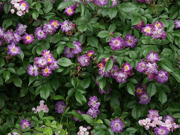 ブルーランブラー(ツルバラ)の花がたくさん咲いた。2019年-8.jpg