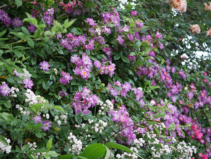 ブルーランブラー(ツルバラ)の花がたくさん咲いた。2020年-001.jpg