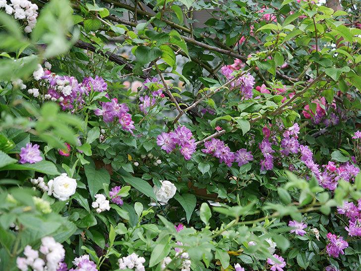 ブルーランブラー(ツルバラ)の花がたくさん咲いた。2020年-002.jpg