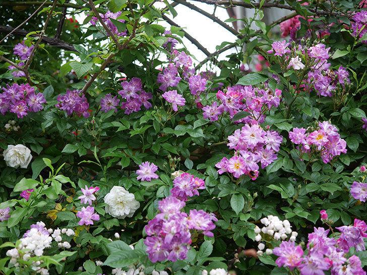 ブルーランブラー(ツルバラ)の花がたくさん咲いた。2020年-003.jpg