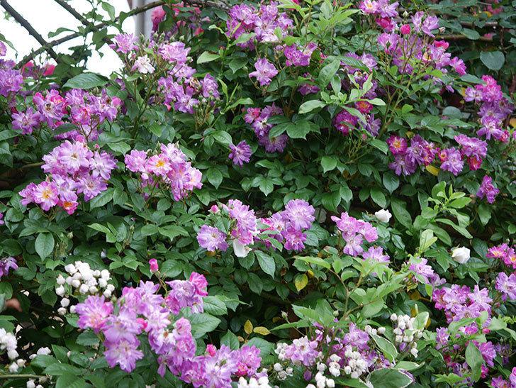 ブルーランブラー(ツルバラ)の花がたくさん咲いた。2020年-004.jpg