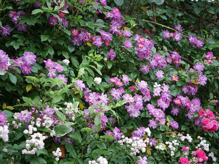 ブルーランブラー(ツルバラ)の花がたくさん咲いた。2020年-005.jpg