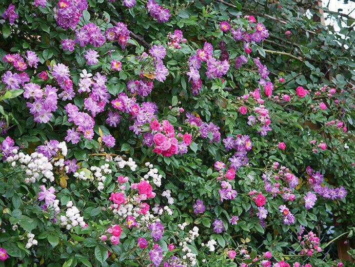 ブルーランブラー(ツルバラ)の花がたくさん咲いた。2020年-006.jpg