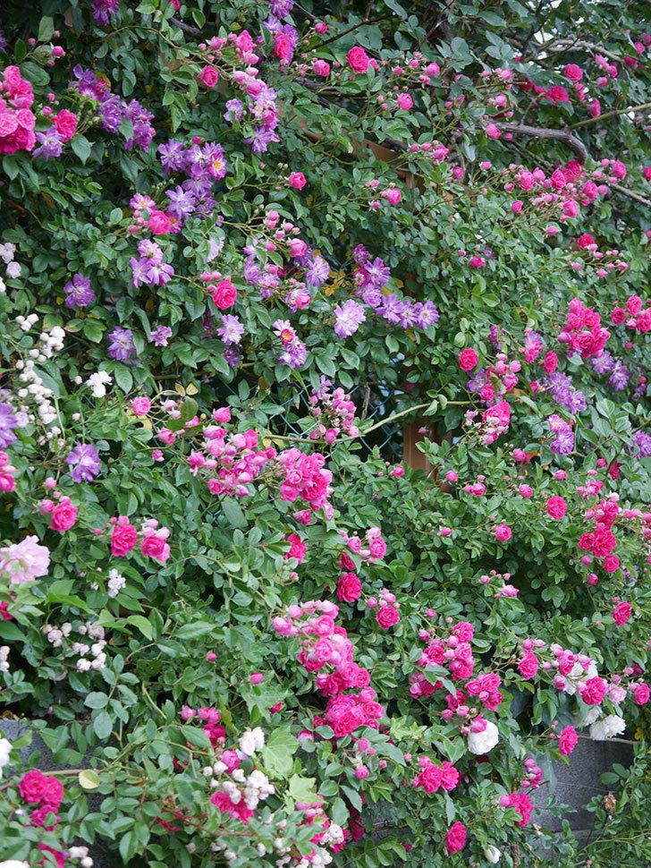 ブルーランブラー(ツルバラ)の花がたくさん咲いた。2020年-007.jpg