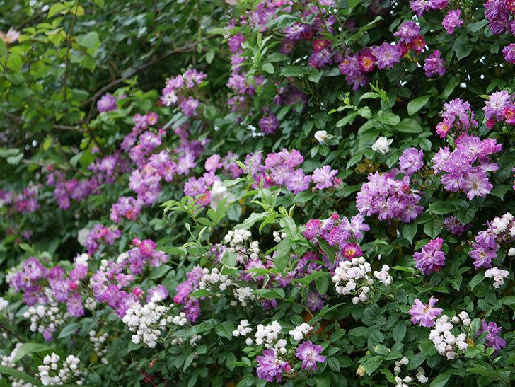 ブルーランブラー(ツルバラ)の花がたくさん咲いた。2020年-008.jpg