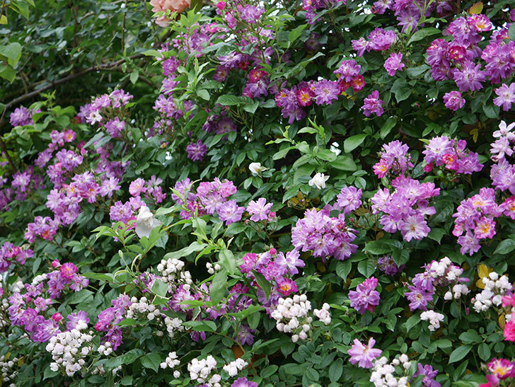 ブルーランブラー(ツルバラ)の花がたくさん咲いた。2020年-009.jpg