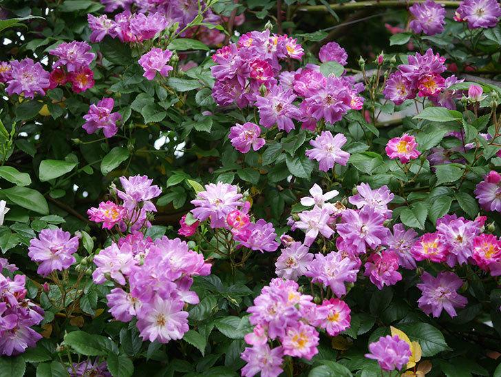 ブルーランブラー(ツルバラ)の花がたくさん咲いた。2020年-010.jpg