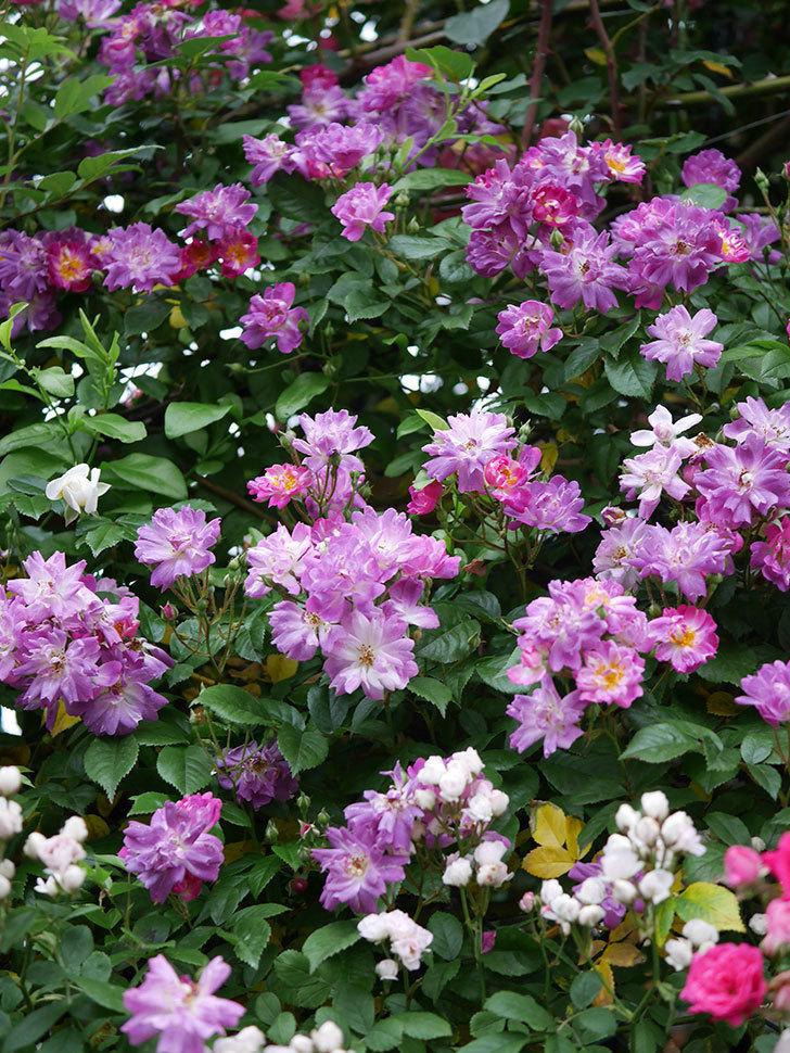 ブルーランブラー(ツルバラ)の花がたくさん咲いた。2020年-012.jpg