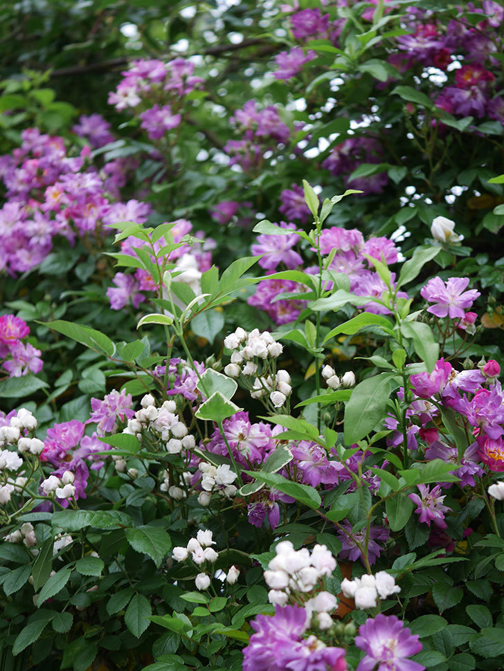 ブルーランブラー(ツルバラ)の花がたくさん咲いた。2020年-013.jpg