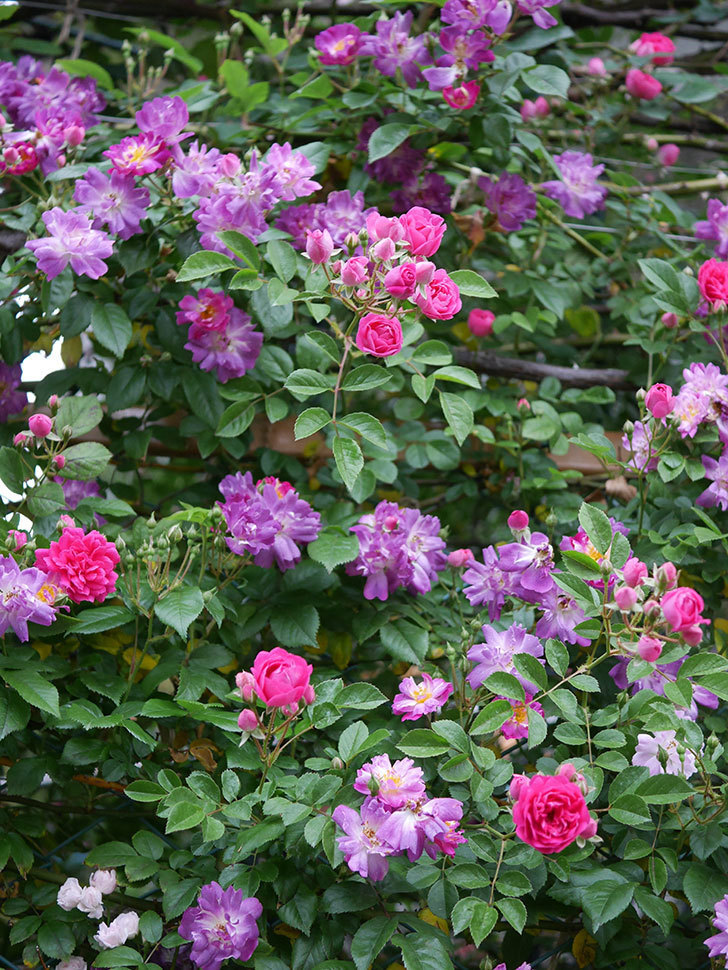 ブルーランブラー(ツルバラ)の花がたくさん咲いた。2020年-015.jpg