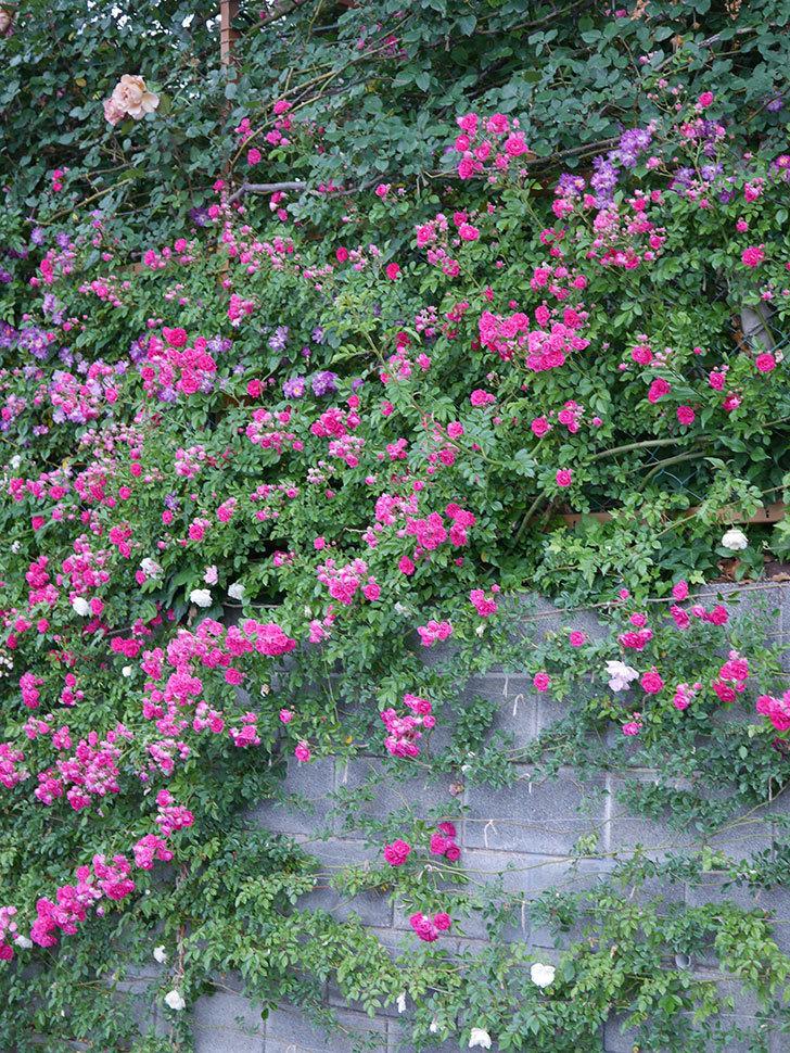 ブルーランブラー(ツルバラ)の花がたくさん咲いた。2020年-018.jpg
