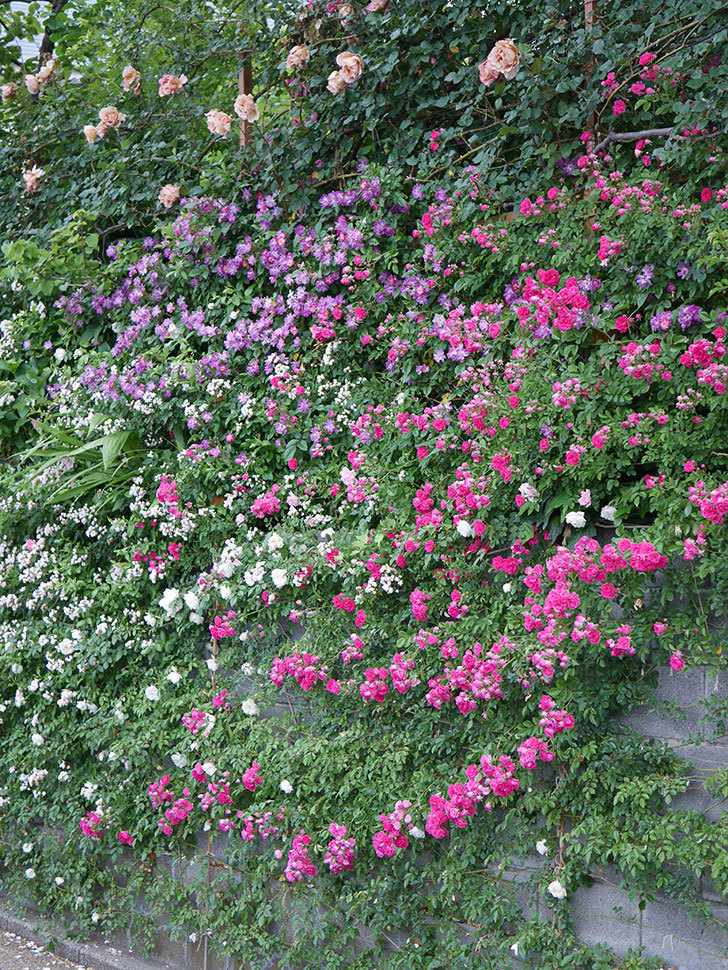 ブルーランブラー(ツルバラ)の花がたくさん咲いた。2020年-019.jpg