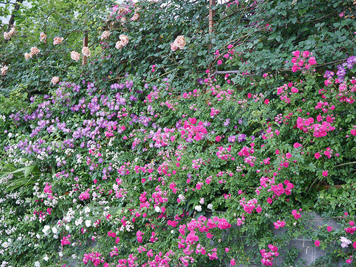 ブルーランブラー(ツルバラ)の花がたくさん咲いた。2020年-021.jpg
