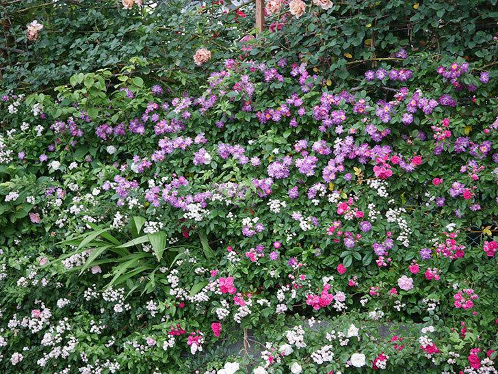 ブルーランブラー(ツルバラ)の花がたくさん咲いた。2020年-022.jpg