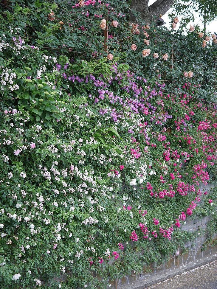 ブルーランブラー(ツルバラ)の花がたくさん咲いた。2020年-023.jpg