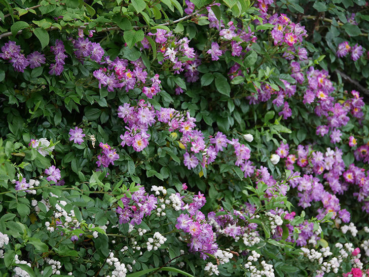 ブルーランブラー(ツルバラ)の花がたくさん咲いた。2020年-024.jpg