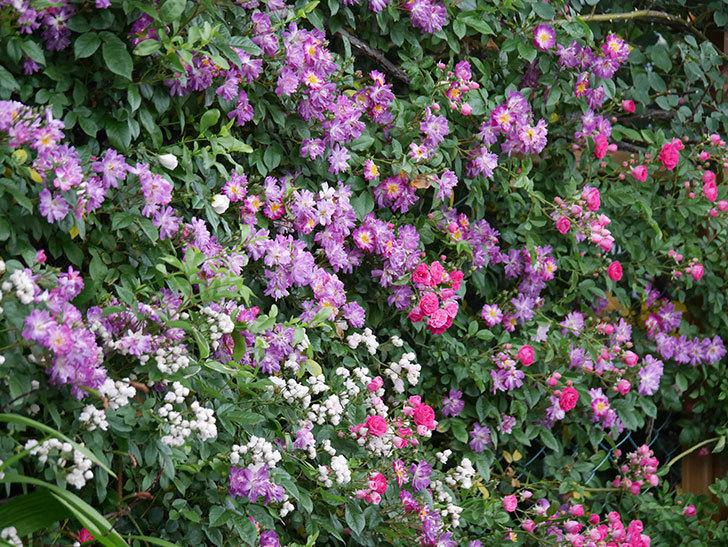 ブルーランブラー(ツルバラ)の花がたくさん咲いた。2020年-025.jpg