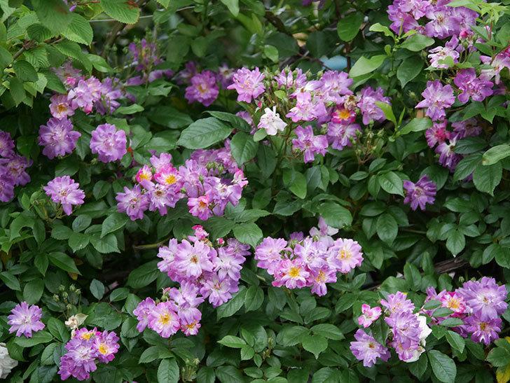 ブルーランブラー(ツルバラ)の花がたくさん咲いた。2020年-026.jpg