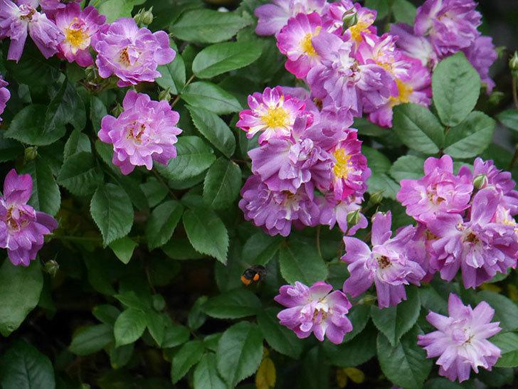 ブルーランブラー(ツルバラ)の花がたくさん咲いた。2020年-027.jpg