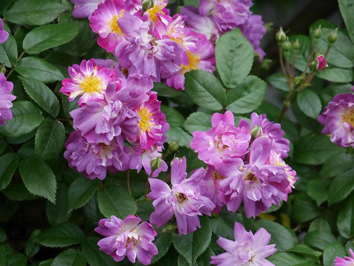 ブルーランブラー(ツルバラ)の花がたくさん咲いた。2020年-028.jpg