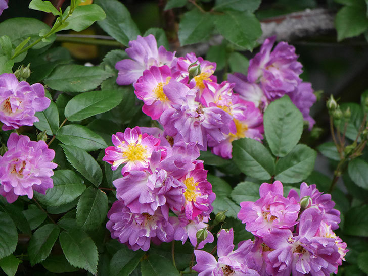 ブルーランブラー(ツルバラ)の花がたくさん咲いた。2020年-029.jpg