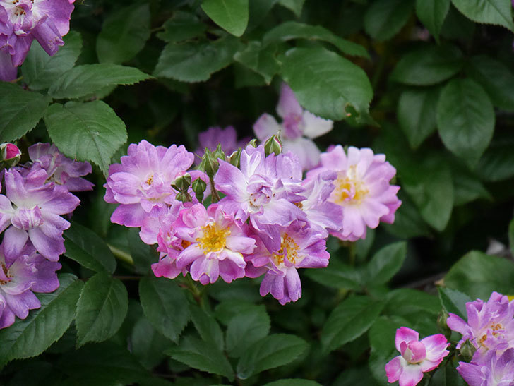 ブルーランブラー(ツルバラ)の花がたくさん咲いた。2020年-030.jpg