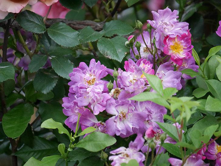 ブルーランブラー(ツルバラ)の花がたくさん咲いた。2020年-031.jpg