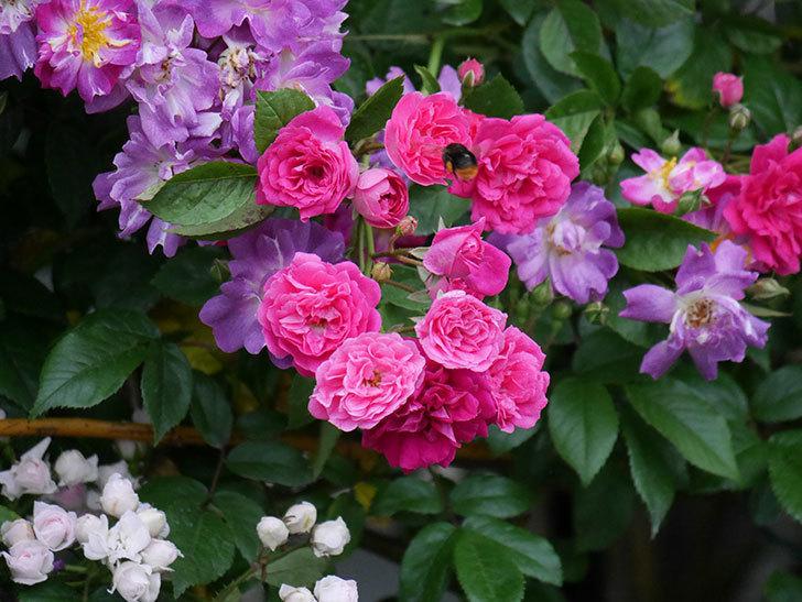 ブルーランブラー(ツルバラ)の花がたくさん咲いた。2020年-032.jpg