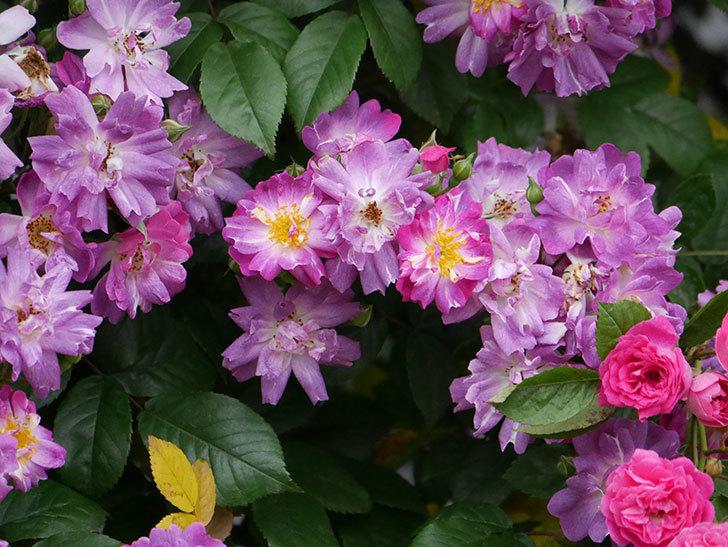 ブルーランブラー(ツルバラ)の花がたくさん咲いた。2020年-034.jpg